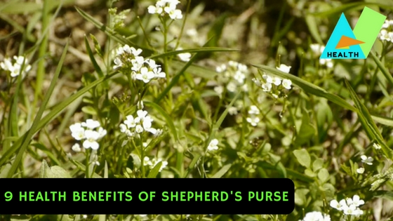 9 Health Benefits of Shepherd's Purse